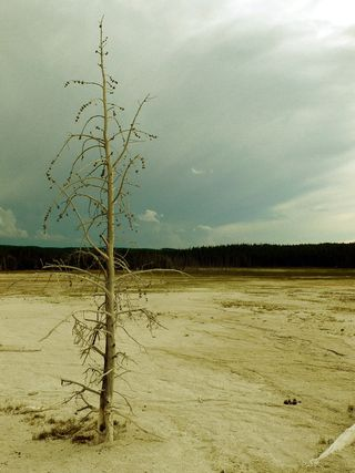 Yellowstone tree1